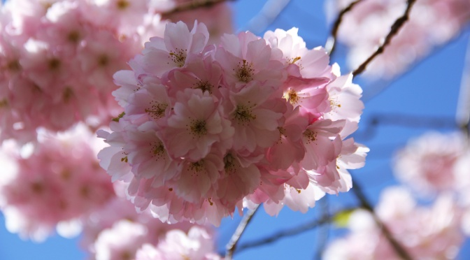 Cherry Blossoms in the Cemetery